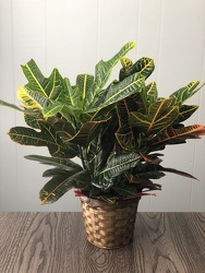 "6"" Croton  from Nate's Flowers in Casper, WY"