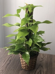 "6"" Pothos Pole  from Nate's Flowers in Casper, WY"