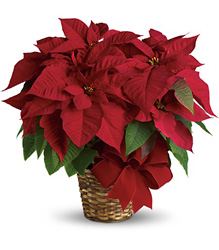 Red Poinsettia from Nate's Flowers in Casper, WY